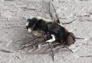 Possibly Bee Fly