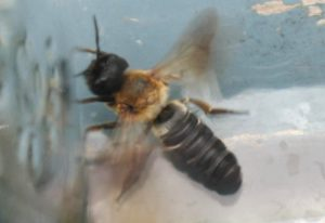 Giant Resin Bee