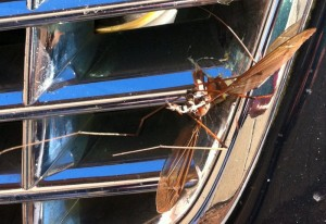 Great Western Crane Fly struck by car