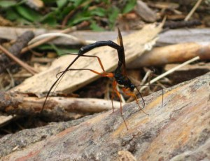 Ichneumon might be Rhysella nitida