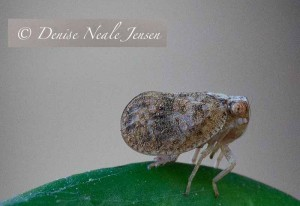 Possibly Issid Planthopper