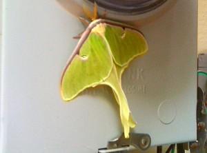 Male Luna Moth