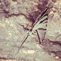 Mexican Kite Swallowtail