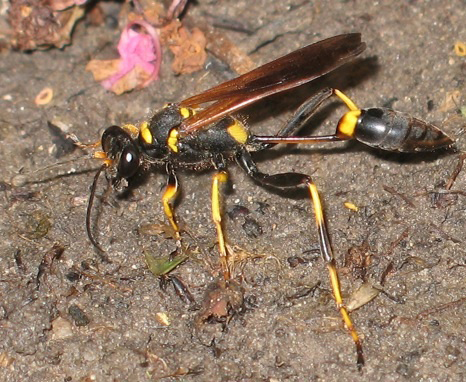 Black And Yellow Mud Dauber What S That Bug