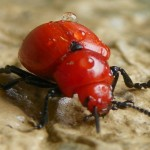 Reddish Potato Beetle