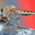Robber Fly feeds upon Blow Fly