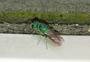 Ruby Tailed Wasp or other???