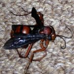 Possibly Spider Wasp