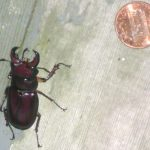Stag Beetle Eyes Penny