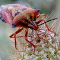 Stink Bug:  Carpocoris mediterraneo