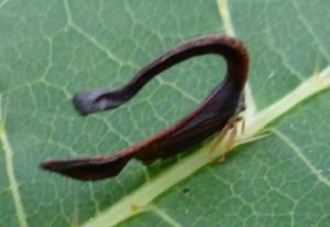 Horseshoe-Shaped Treehopper