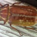 Variegated June Beetle