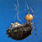 Brown Widow eats Cockroach