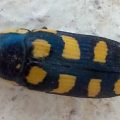 Jewel Beetle:  Buprestis octoguttata