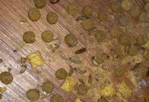 Carpet Beetle Larvae Infestation What S That Bug