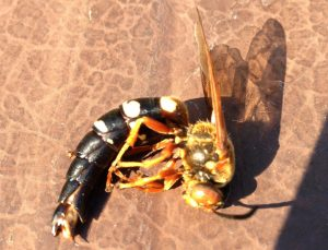 Cicada Killer drowned in pool