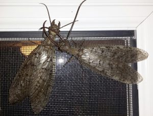 Dobsonfly Courtship