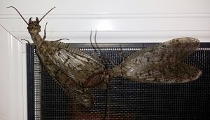 Dobsonfly Mating Begins