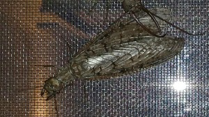 Dobsonfly Mating Continues