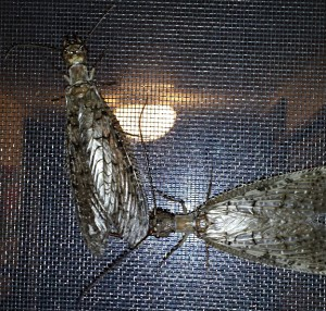 Dobsonfly Mating
