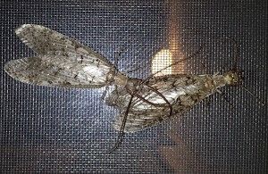 Dobsonflies after mating