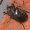 Female Eastern Hercules Beetle