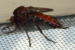 Robber Fly, we presume