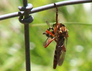 Hanging Thief eats its prey