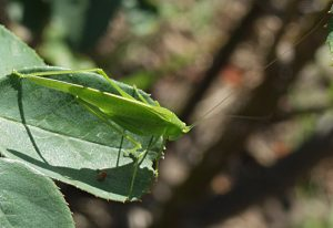Male Scudder's Bush Katydid