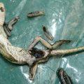 Lizard with Maggots