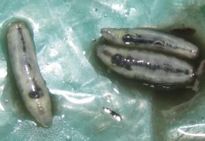 Maggots emerge from Lizard