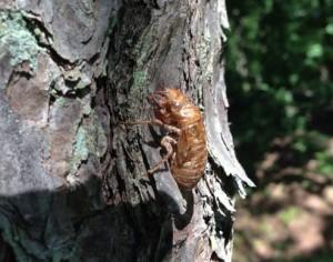 Periodical Cicada Exuvia