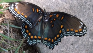 Decapitated Red Spotted Purple