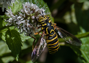Hover Fly:  Spilomyia longicornis