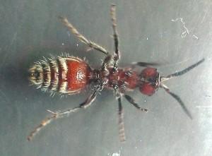 Velvet Ant ventral view