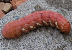 Achemon Sphinx Caterpillar
