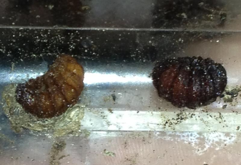 Bot fly larvae