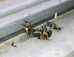 Burying Beetle Melee