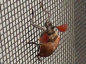 Cedar Beetle
