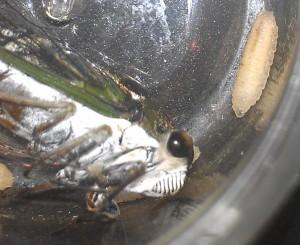Cicada and Parasite