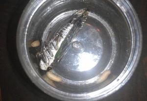 Cicada with Parasites