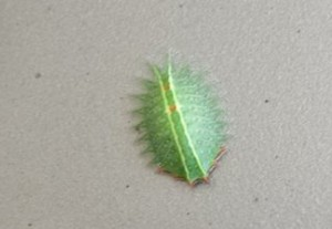 Crowned Slug Caterpillar