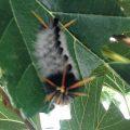 Davis' Tussock Moth Caterpillar
