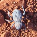 Desert Ironclad Beetle