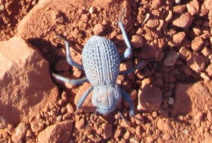 Desert Ironclad Beetle