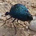 Desert Spider Beetle