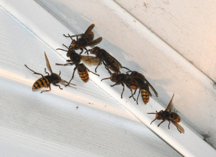 European Hornets Attracted To Porch Light What S That Bug