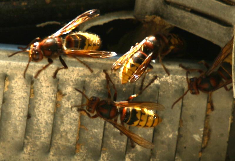 European Hornet Nest In Attic What S That Bug