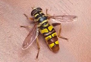 Good News Bee is Yellow Jacket Hover Fly