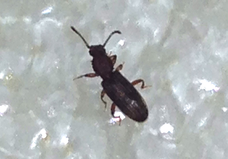 Kitchen cabinets discount ohio - Pantry Beetles Grain Weevils Spider Beetles Meal Worms